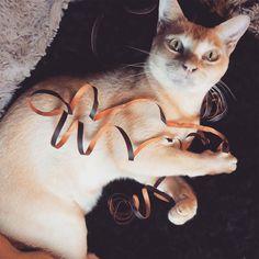 """Helping"" with Halloween decorating. #djangoandhartley #cats #burmesecats"