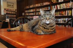 Penny, the Swansea Library cat.