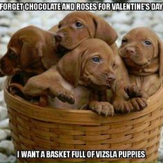 Vizsla Pups ~ Classic Look Weimaraner, Vizsla Puppies, Cute Puppies, Dogs And Puppies, Vizsla Dog, Most Beautiful Dog Breeds, Beautiful Dogs, Cute Animal Pictures, Puppy Pictures