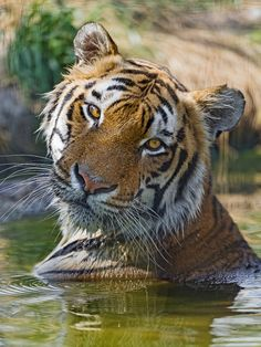 Amazing wildlife - Tiger in water photo Big Cats, Cats And Kittens, Cute Cats, Siamese Cats, Tiger Pictures, Animal Pictures, Beautiful Cats, Animals Beautiful, Chat Lion