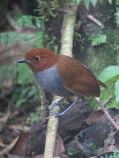 Bicoloured Antpitta Most Beautiful Birds, Wrens, Online Photo Gallery, Pitta, Wild Birds, Ants, Lush, Photo Galleries, Amazing