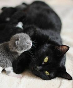 Black #cat and grey #kitten