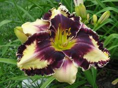 """'Glamoureyez'  7"""" blooms are butter cream with deep burgundy purple eye and ruffled edge, in early to mid-season, reblooms. Height: 27"""""""