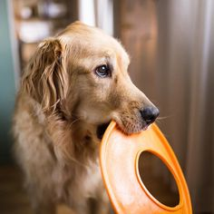 As if he could get any cuter. #goldenlove #goldenretriever #doglover #dogsofinstagram #goldenretrieversofinstagram #playtime #frisbee by jbonadiophoto