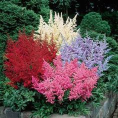 6 for $19.99 Astilbe Bargain Bag,pink, red, white and lavender, 24 inches with impressive 40-inch spreads,
