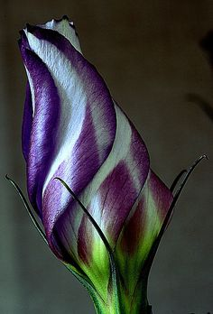 Lisianthus flower bud, Photo by Vernon Hyde - on Flickr