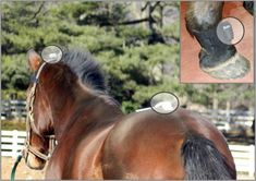 Equine & Science - For equine professionals - Lameness examination and effect of lunging on body movements