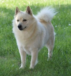 Schipperke in Cream