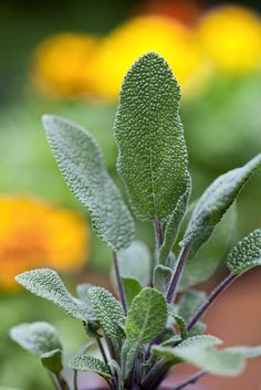 116.Salvia officinalis - orvosi zsálya laniaceae