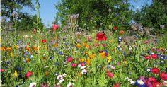 Wenn du auch gerne wissen möchtest, wie eine einjährige Blumenwiese entsteht, dann kannst du hier erfahren, wie das geht. Wiedersäen macht Freude! Vor Jahren habe ich in Bamberg einmal auf der Landesgartenschau mehrere sehr große Flächen mit verschiedenen einjährigen Blumenwiesen gesehen. Ich war zu einer Zeit im Spätsommer dort zu Besuch, als einige Blumen schon…