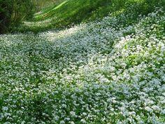 Allium ursinum (Bärlauch)