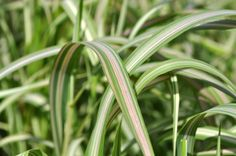 Phalaris 'Strawberries and Cream', Common name: Ribbon Grass. Full to part-sun, salt tolerant and U. Vigorous grower, will take wet soils, grows Common Names, Ornamental Grasses, Strawberries And Cream, Native Plants, Four Seasons, Salt, Ribbon, Outdoors, Landscape