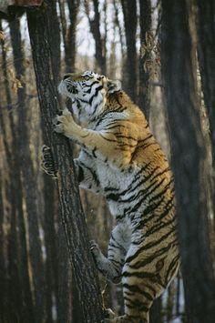 Siberian tiger (Panthera tigris altaica) climbing a tree. Nature Animals, Animals And Pets, Wild Animals, Baby Animals, Animals Images, Beautiful Cats, Animals Beautiful, Panthera Tigris Altaica, Big Cats