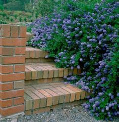 Prostrate California Lilac spilling of top of cement wall. Planting Flowers, Plants, Garden Shrubs, Forest Garden, Native Plants, Northwest Garden, Pacific Northwest Garden, Native Plant Gardening, Garden Steps