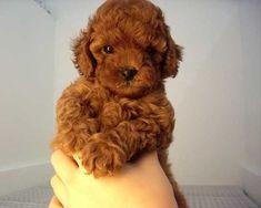 Toelettatura barboncino ~ Toy poodle u2013 ginger barboncino barboncini nani e cani