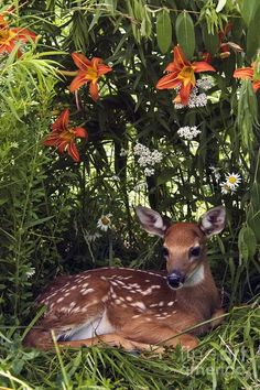 tiger lilies and fawn
