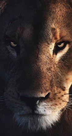 Lion King Pictures, Lion Images, Lion Wallpaper, Animal Wallpaper, Wild Animals Pictures, Animal Pictures, Lazy Animals, Cute Animals, Logo Lion