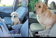 Golden Retriever Pup Grows Up Looks like this sweet Golden Retriever pup has done some serious growing over the past year!