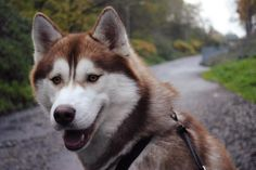 Husky Kodah (f: Denise Schloosser)