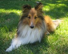 Shelties Suffer Few Health Problems. Here is some information about health issues commonly found in Shelties. Its a good guide on what to look out for.