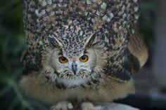 Menacing Owl by Hidenobu Suzuki on 500px