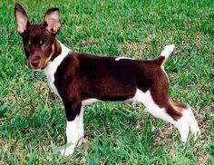 Rat Terrier - Canine Color Genetics - D-series