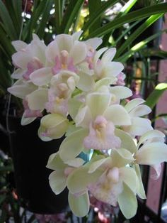 """Koihime"" Cymbidium orchid, well worth the extra care. Learn more: https://www.houseplant411.com/houseplant/cymbidium-orchids-how-to-grow-care"