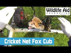 GoPro: Exciting Rescue of a Cute Fox Cub Stuck in a Cricket Net!