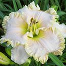 Spacecoast White Christmas Daylily