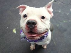 TO BE DESTROYED 11/18/14- Manhattan Center   My name is MASON. My Animal ID # is A1019383. ***$150 DONATION to NEW HOPE RESCUE that pulls!!*** I am a male white and blue bulldog mix. The shelter thinks I am about 2 YEARS   I came in the shelter as a OWNER SUR on 11/01/2014 from NY 10469, owner surrender reason stated was NO TIME.