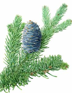 """Abies lasiocarpa (Subalpine Fir) by Margaret Best  Available for purchase  Size: 9"""" x 12"""" Watercolour on paper http://www.bestbotanical.com/Best-portfolio.php?portfolioID=18"""