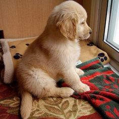If anyone ever needs to cheer me up a golden puppy will do quite nicely #Goldenretrieverpuppies