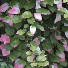 Kameleontbusken är ingen buske utan en klängväxt med vackert bladverk som ser ut som om bladen doppats i vit och rosa färg. Kameleontbusken är lättskött