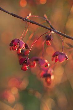 Körsbärsbenved, Euonymus planipes. Zon 1-5