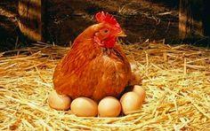 Un moyen imparable de stimuler la ponte des œufs chez les poules (+conseils) - Astuces de grand mère