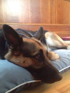 """She was last seen on Monday, July 28th, in the #Millersville area near Annapolis, MD.   Zara is a mostly black #GSD with a pink collar. She is shy but friendly and answers to """"Z,"""" """"Zara"""" or """"ZZ.""""  If you see her please contact Dogs on Deployment: DMV Chapter at dc-events@dogsondeployment.org and they can connect you to Zara's foster mom."""
