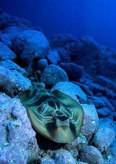 Banjo Shark - Montague Island