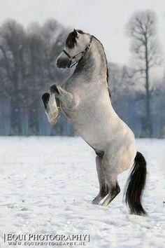 Welsh Pony Stallion Deny