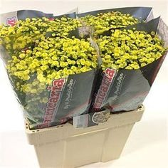 Tanacetum Victory Yellow is a beautiful Yellow seasonal cut flower A pretty small button shaped flower suitable for all floristry. Long lasting and available throughout the year. Seasonal Flowers, Fresh Flowers, Yellow Flowers, July Flowers, September Flowers, Butterfly Weed, Indian Paintbrush, Flower Packaging, Florist Supplies