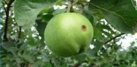 If you are noticing brown spots on the skin of your apples, it is likely that the fruit of your apple tree has been infested with a worm. The worms are caused by fruit flies that fly around your apple tree laying eggs inside the skin of the fruit.