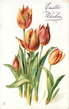 Orange-red tulips ~ 1911
