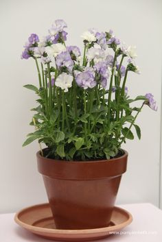 Viola 'Frilly Dilly'