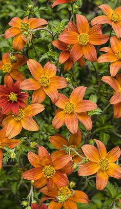 Campfire™ Fireburst Bidens-Plant me anywhere, I'M EASY. Vigorous and heat tolerant with striking scarlet and yellow flowers in the summer months and muted orange petals in early spring and fall. Fall Plants, Garden Plants, Garden Art, Garden Ideas, Mail Order Plants, Bloom Baby, Autumn Scenery, Annual Flowers, Plant Nursery