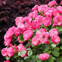 Rose, Angela, バラ, アンジェラ, Climbing rose つるバラ Germany ドイツ Kordes 1988 Kordes Rosen, Climbing Roses, Flower Aesthetic, English Roses, Beautiful Flowers, Roses Garden, Plants, Germany, Spaces