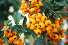 The amazing health benefits of sea buckthorn!