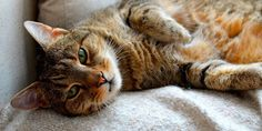 9 House-Cleaning Tricks to Make It Seem Like You Don't Own Pets Try these smart fixes for getting rid of paw marks, bad odors and all that hair. Beautiful Cats, Animals Beautiful, Cute Animals, Crazy Cat Lady, Crazy Cats, Son Chat, Pet Odors, Pet Dander, Cleaning Hacks