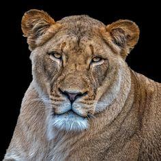 Lioness . #wildlife #nature #fall #wildlifelover #buffalony #buffalove #featuremeigersbuffalo #gf_wildlife #igersbuffalo #HashtagStepOutBuffalo #veganism #chooselife #animals #animalwelfare #travelbuff #instafollow #wild #respectlife #animalrights #beautiful #enjoy #life #buffalove #travelbuf #lioncubs #beauty #lion #lioncub #bigcats #bigcatsofinstagram