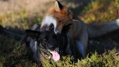 This Fox and Hound Make Real Life Best Friends Fox Dog, Dog Cat, Unlikely Animal Friends, Such Und Find, Malinois, Bff, Besties, The Fox And The Hound, Puppy Face