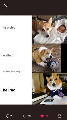Writing humor with lawyer dog Lawyer Jokes, Writing Humor, Corgi, Memes, Animals, Makeup, Board, Hair, Make Up