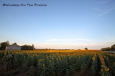 """Grinter's Sunflower Farm, Kansas. """"Since the 1970s, the Grinters have planted sunflowers on their farm between Tonganoxie and Lawrence. They encourage visitors to stop and take pictures and even pick a few flowers to take home for a suggested fee of $1 per flower. Visitors can slip their dollars into a can at the edge of the field."""""""
